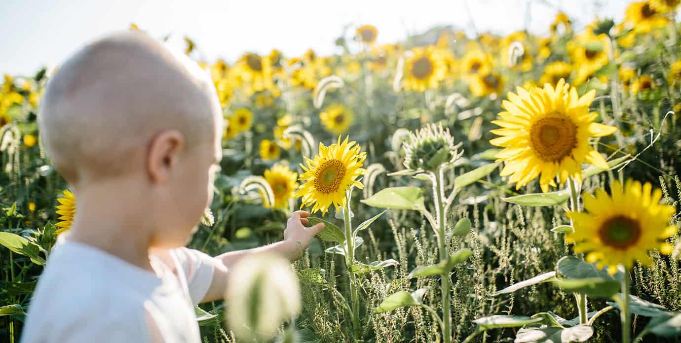 Boy picking sunflowers